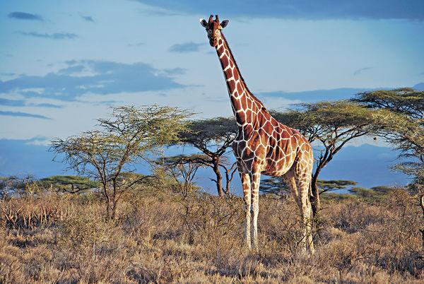 全球僅餘9.7萬隻 長頸鹿列易危