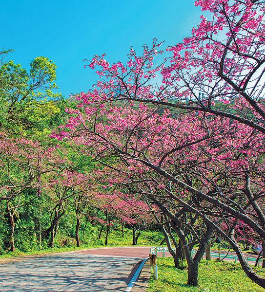沖繩櫻花祭