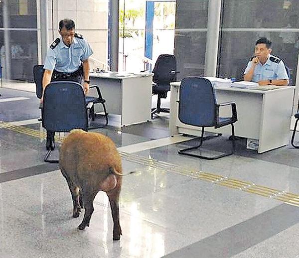 野豬大鬧警署