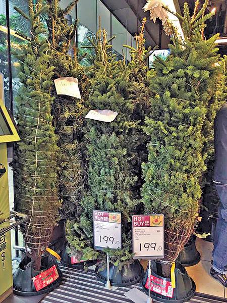 真•聖誕樹 劈價$200一棵