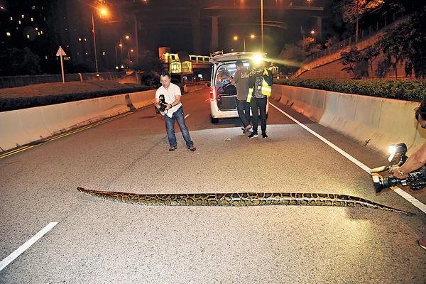 4米巨蟒闖馬路 蛇王:未捉過咁大條