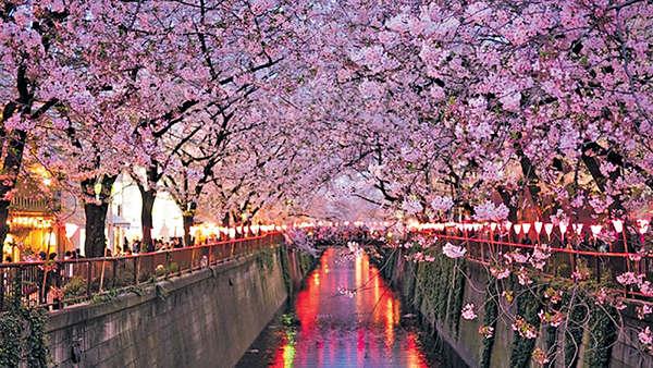 日公布賞櫻時間 東京3月底率先開花