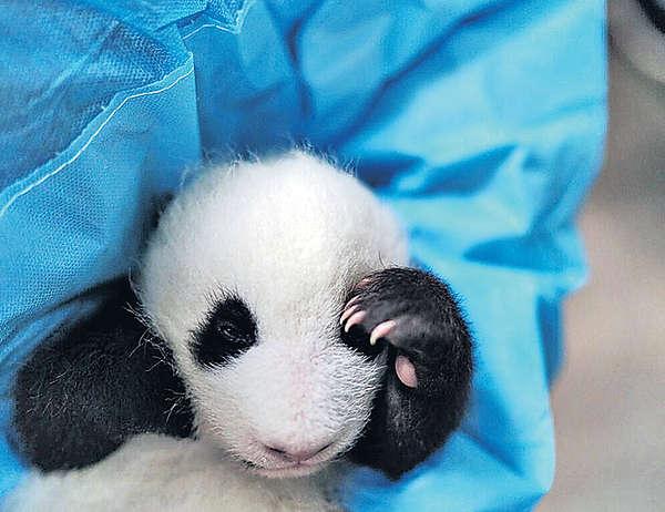 自拍短片 角逐做「熊貓使者」