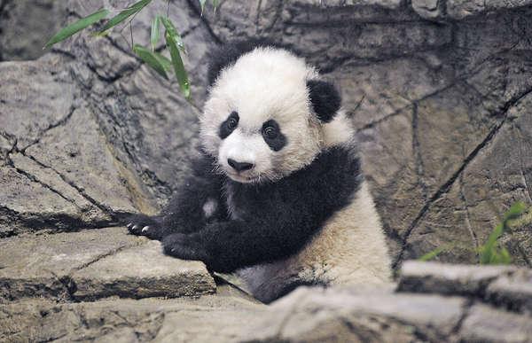 熊貓B「貝貝」美國首騷 吸引大批粉絲