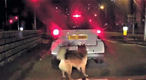 狗狗追車 惹棄養疑雲