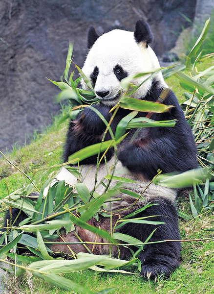 大熊貓盈盈 今年將留港交配