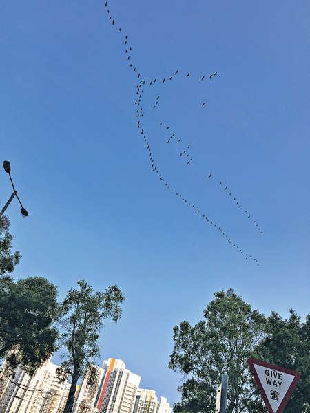 逾千黑鳥大遷徙 掠過屯門