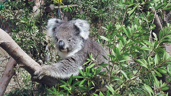 南澳樹熊美美 患腎病安樂死
