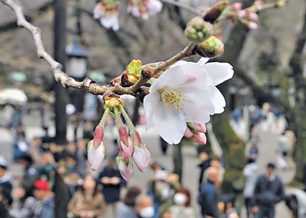 東京櫻花 提早綻放
