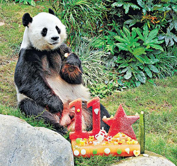 海洋公園幫熊貓慶生 盈盈或有喜?