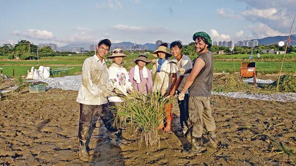 稻穗收割體驗 喚起保育意識