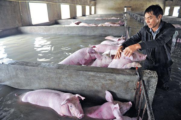 華南水災128死 6千豬被困獲救