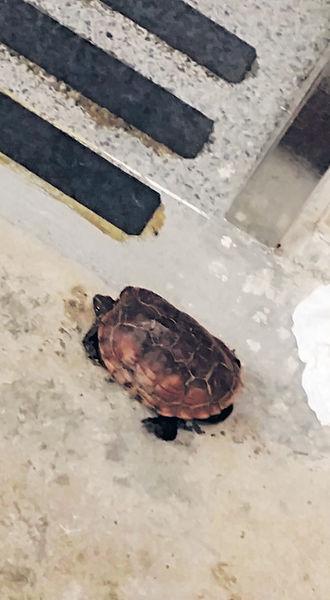 網民打救 走失烏龍龜