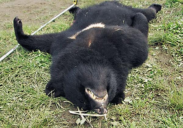 殺人黑熊遭獵殺 胃內現人體殘肢