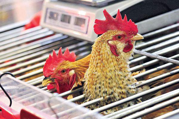 活雞續停售 延至端午前