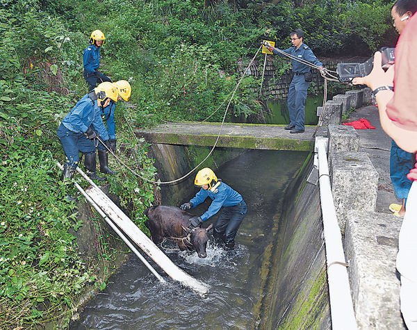 小黃牛墮引水道 消防拯救