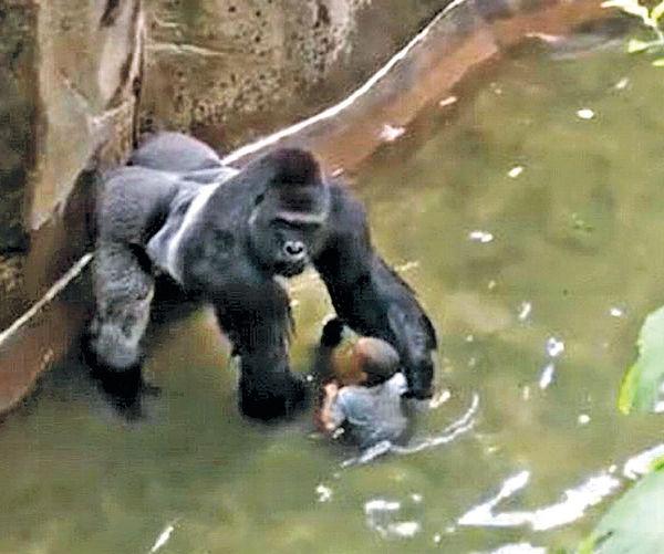 槍殺猩猩救男童 動物園堅持無錯