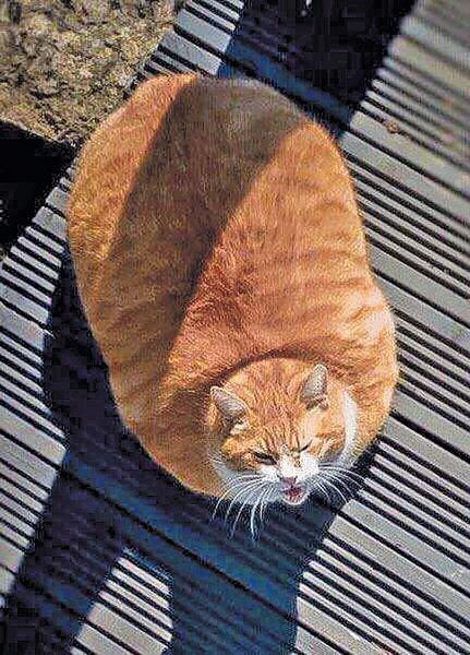 肥貓如巨型咕𠱸 網民:應該減肥喇