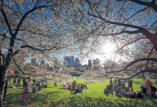 紐約大都會賞櫻 移植日式文化