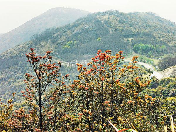 登臨大帽山 4月見紅葉