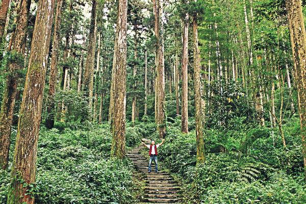 台灣阿里山森林 滲出奇妙人參香