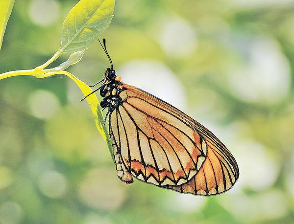 棲息地被破壞 逼遷罕見蝶