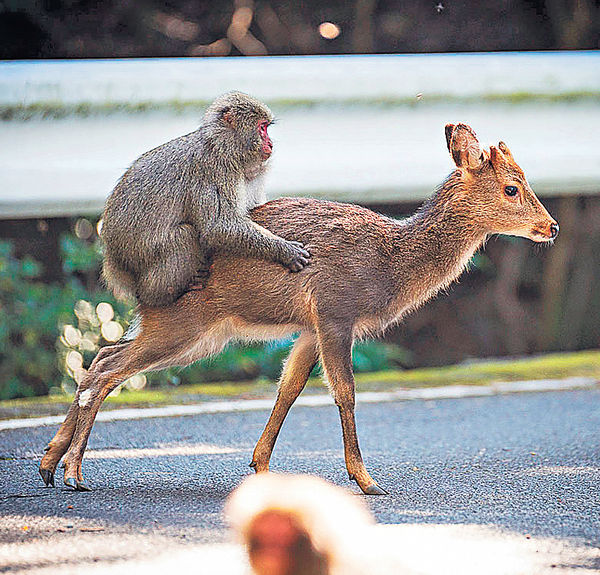 異種交配次例 猴「騎」鹿震驚自然界