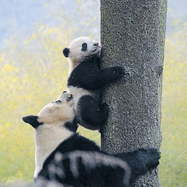 熊貓狂咬6分鐘 四川飼養員重傷