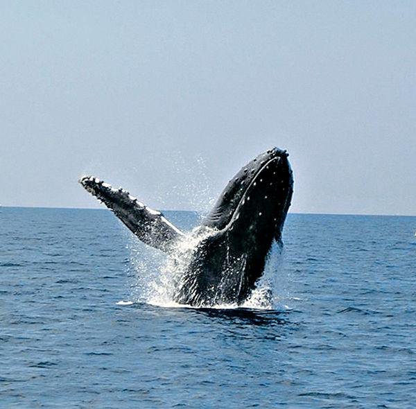 與座頭鯨相約在沖繩