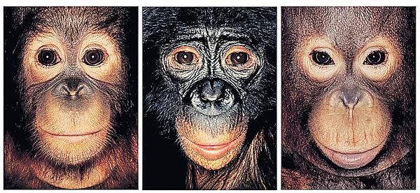 黑猩猩也是「人」?