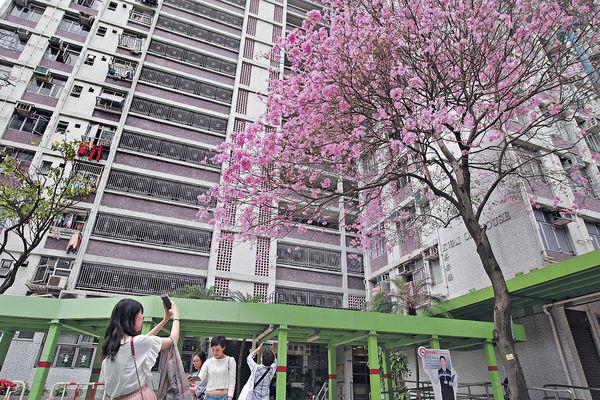 葵芳邨「櫻花」飄 熱幾日周三又轉涼