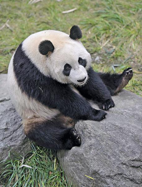 大熊貓「星雅」、「武雯」 今抵荷蘭