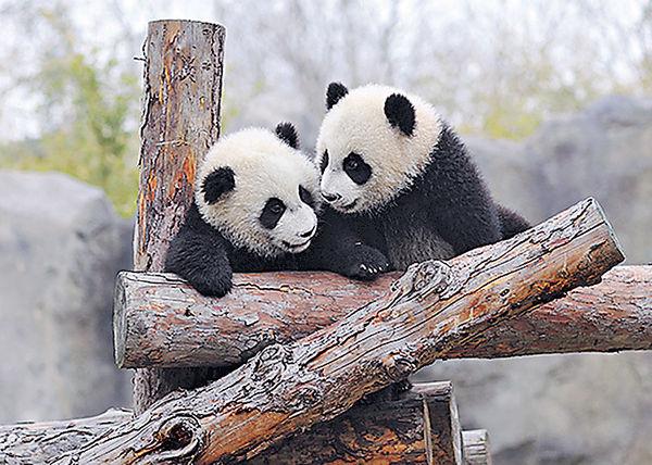 滬大熊貓龍鳳胎 取名「月月」「半半」