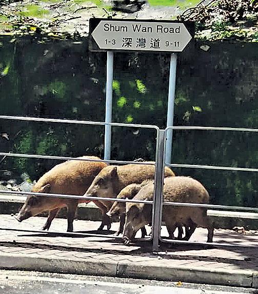 4大小野豬香港仔山邊覓食