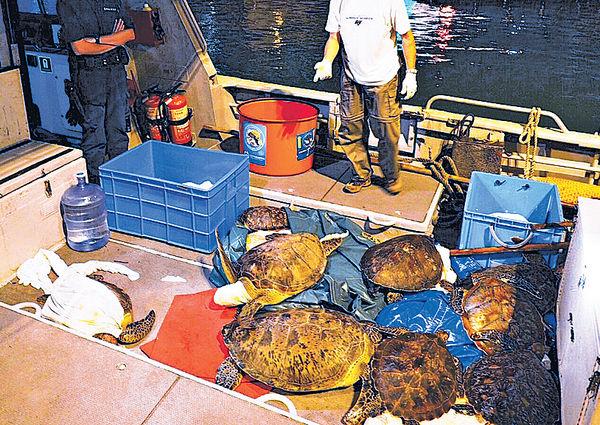 10綠海龜1玳瑁放歸大海