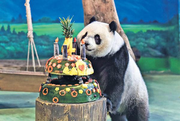 台熊貓「圓仔」滿4歲 明年或「相親」