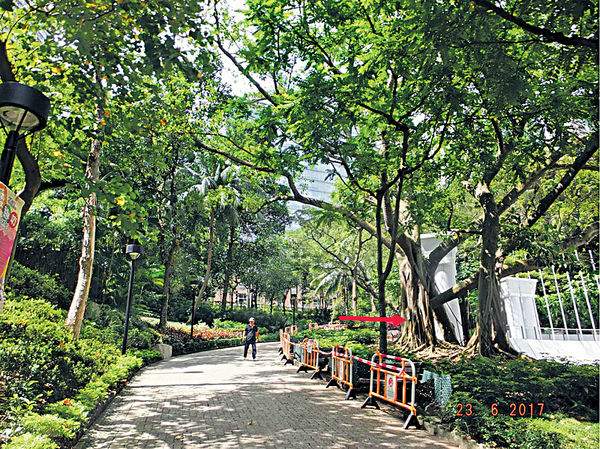 染褐根病難救 香港公園2古樹要移除