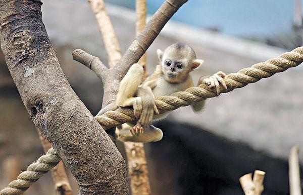 首隻港產川金絲猴 命名「樂奇」