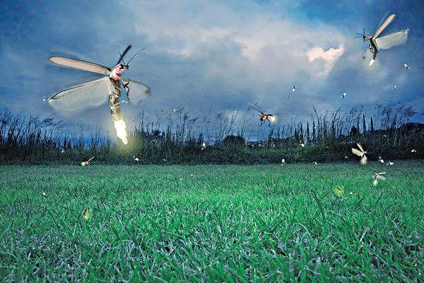 夜遊踩死生物 螢火蟲團釀生態災難