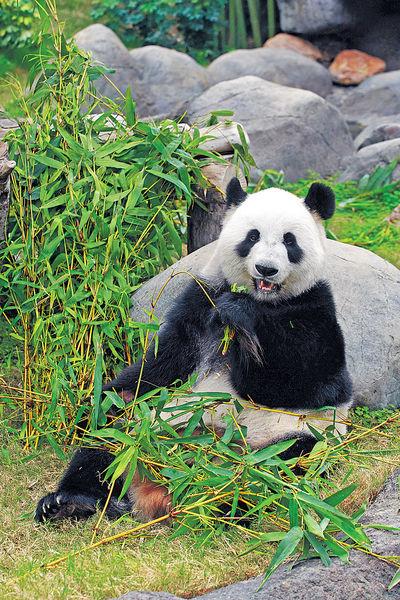 熊貓盈盈疑懷孕 海洋公園推門票優惠