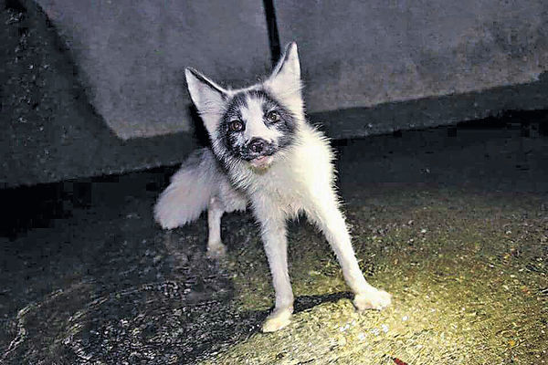 暫住海洋公園半年 小赤狐去向未明