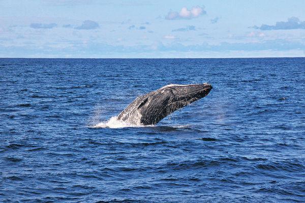 黃金海岸觀鯨 表演水上芭蕾