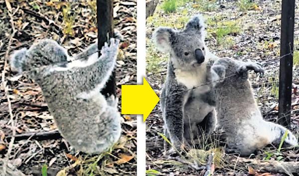寶寶纏鐵絲網 樹熊媽助脫困