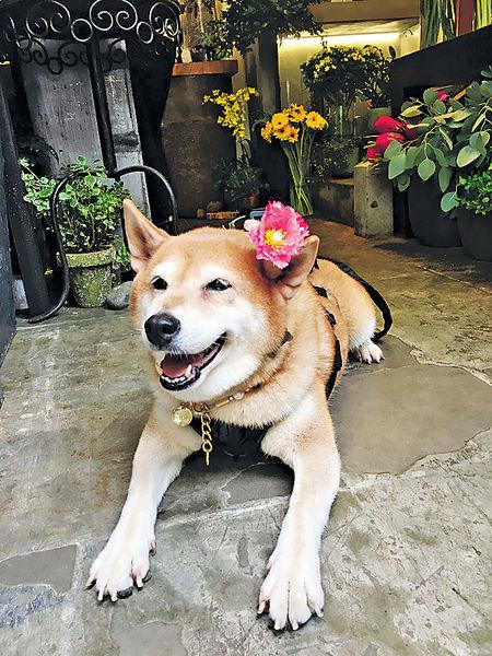 明星柴犬做導遊 帶旅客遊舊城中環