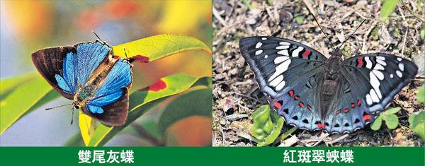 大欖郊野公園蝴蝶物種佔港半數 環團反對發展