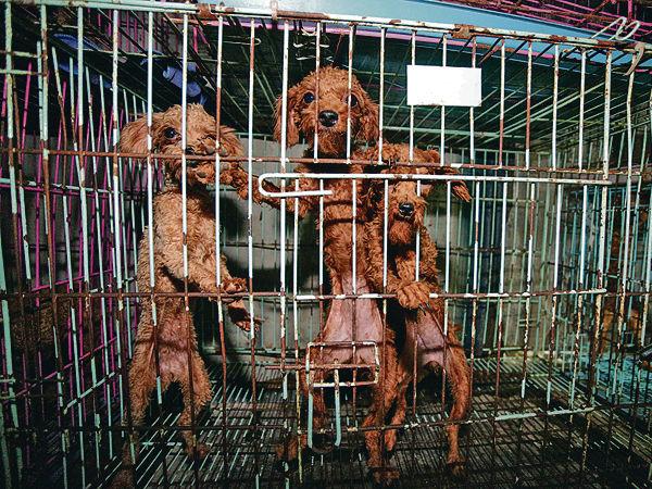 101犬困地獄狗場 部分遭割聲帶