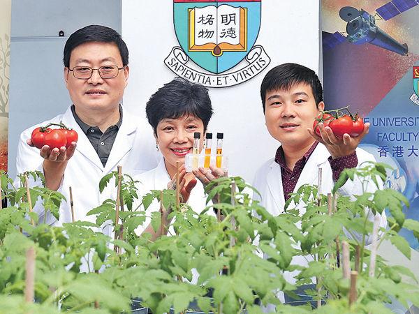 港大改造基因 番茄抗氧化更勁