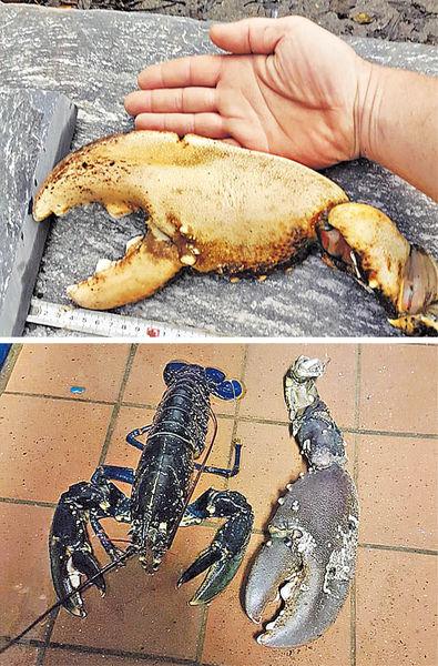 「怪獸龍蝦」現英倫 50歲長達一米
