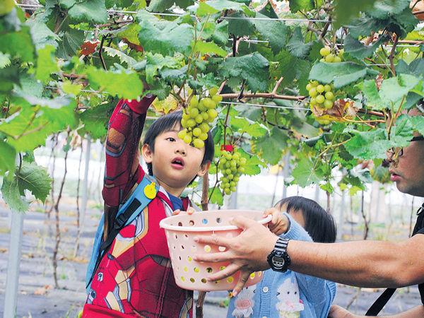 元朗果園引入 港產熱爆香印提子 假日400人朝聖