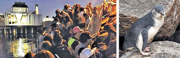 遊客伸自拍棍 危害墨爾本企鵝